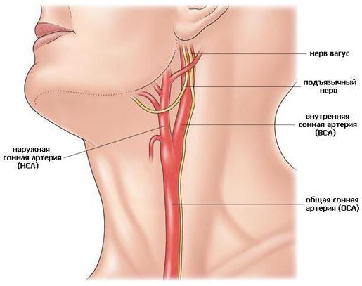 Анатомическое изображение крупных сосудов шеи