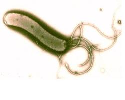 bacteriya_helicobacter_pylori