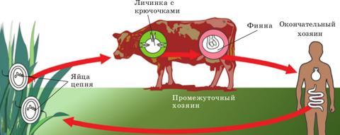 Пути передачи бычьего цепня человеку