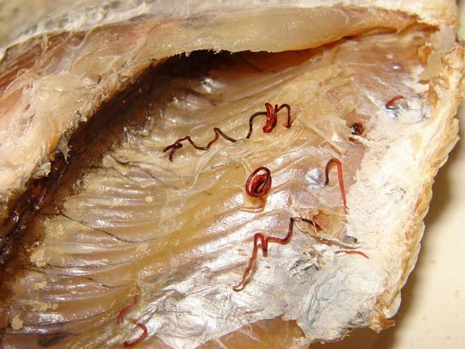 Паразитарные червяки в рыбе