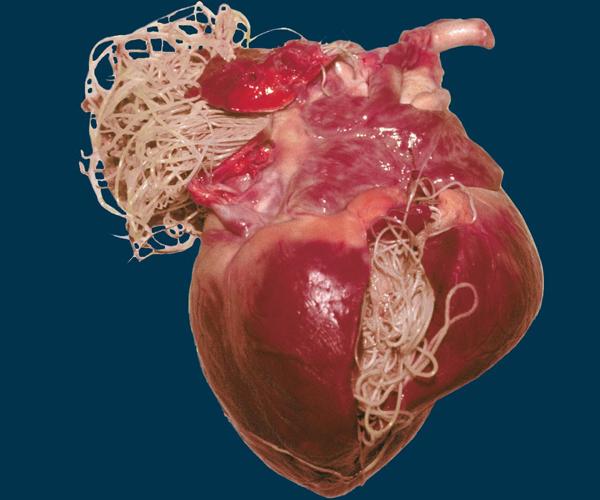 Поражение сердца при дирофиляриозе