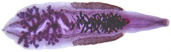 Китайская двуустка под микроскопом