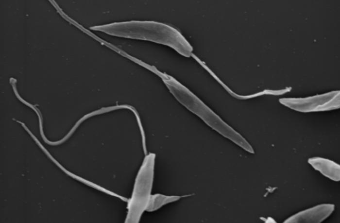 Лейшмании под микроскопом