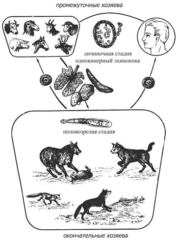 Эхинококкоз у человека: симптомы, лечение, прогноз puti_peredachi_ehinokokkoza