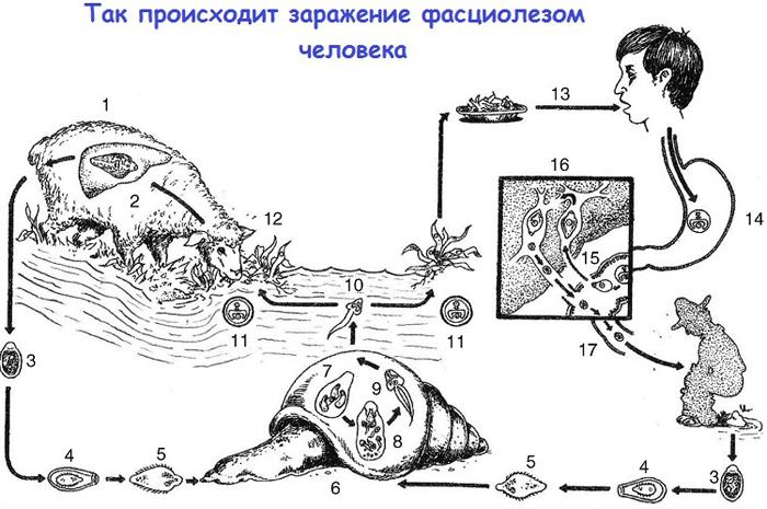 Схема заражения человека фасциолезом