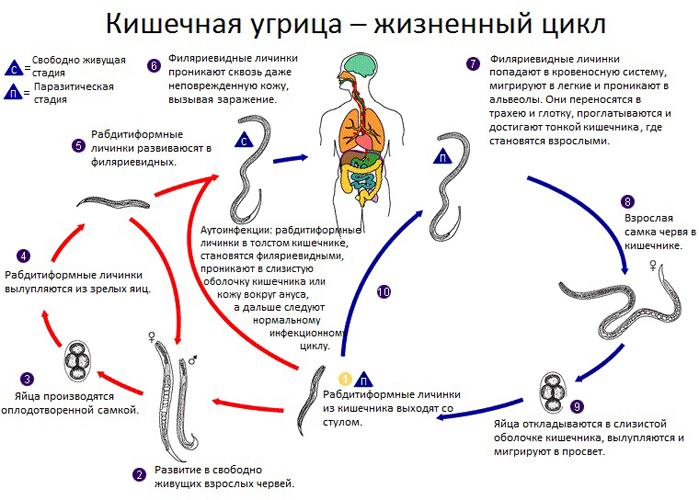 Насколько опасен стронгилоидоз у человека? strongiloidoz_puti_peredachi