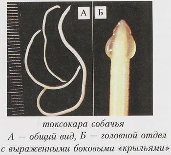 Паразит, вызывающий токсокароз у человека