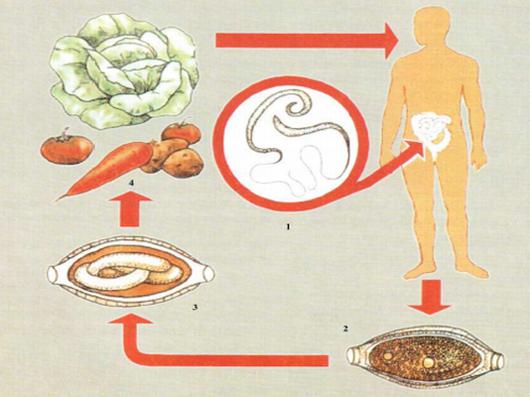 Пути заражения человека трихоцефалезом