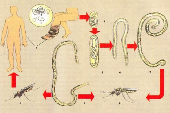 Чем опасен для человека филяриоз? zhiznennyy-tsikl-filyariy