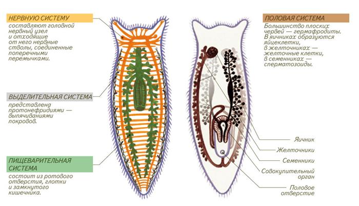 Строение (анатомия) плоских червей