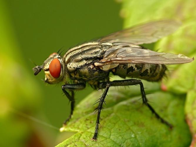 Серая вольфартова муха