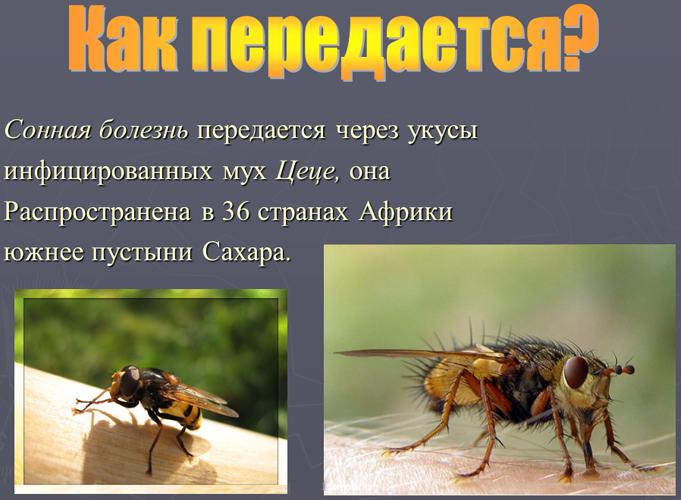Насколько опасна для человека сонная болезнь? sonnaya_bolezn_puti_peredachi
