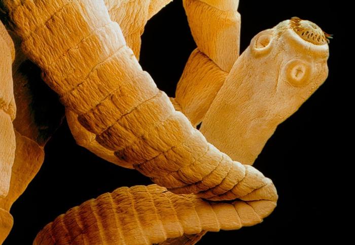 Вегетативные формы гельминтов