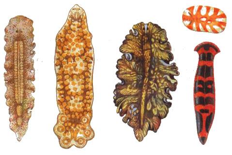 Внешний вид плоских червей