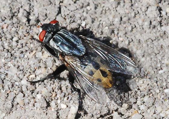 Мясная муха (возбудитель миазов)
