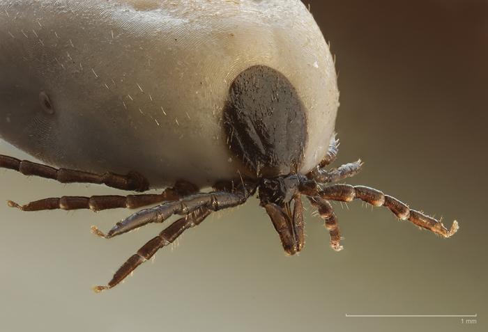 Собачий клещ под микроскопом