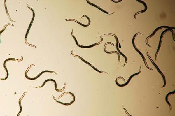 Паразитарные черви