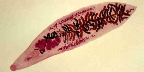 Насколько опасен дикроцелиоз у человека? dicrocelioz