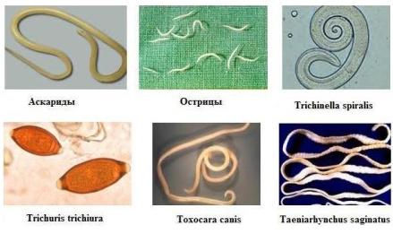 паразиты токсокары лечение народными средствами