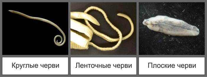 Таблетки от глистов для щенков прател