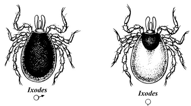 Самка и самец иксодового клеща