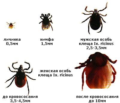 Лечение и профилактика укусов иксодовых клещей klesh_ciclo_ricinus-1