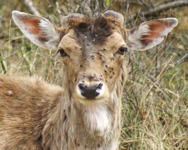 Поражение оленя лосиными клещами
