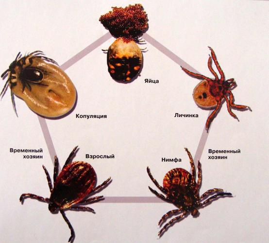 Какие болезни переносит таежный клещ? razvitie_taezhnogo_klesha