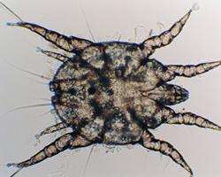 ушные паразиты у человека