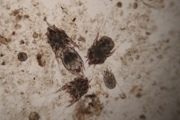 Ушной клещ под микроскопом