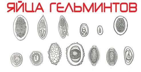 Яйца червеобразных гельминтов