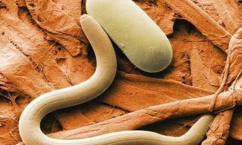 Гвоздика изгоняет не только паразитов, но и их яйца (личинки)