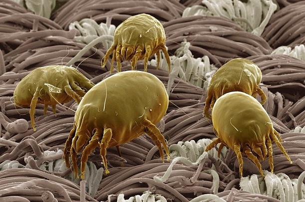 Постельные клещи имеют микроскопические размеры