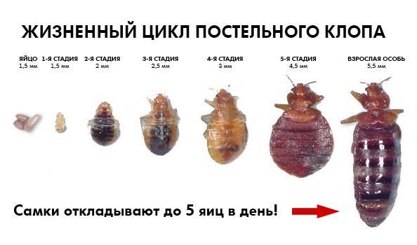 Как самостоятельно избавиться от клопов? zhiznennyiy-tsikl-postelnogo-klopa
