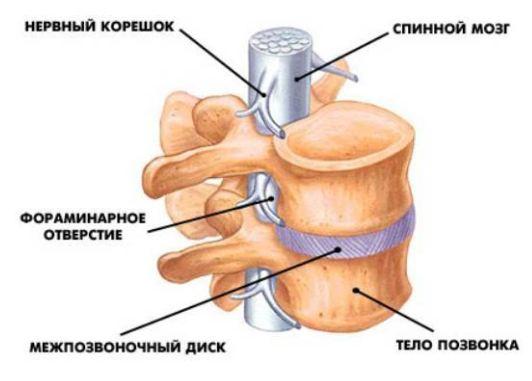 Анатомия отдельного позвонка