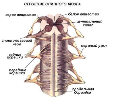 Как проводится люмбальная пункция спинного мозга? spinnoimozgovaya_lyumbalnaya_pukciya